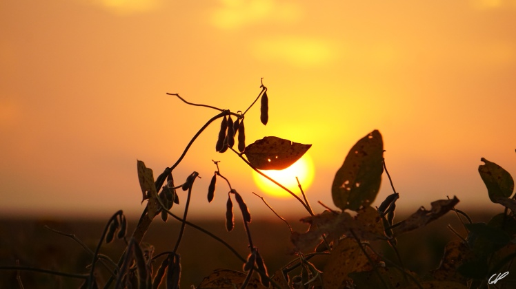 soybeans-sunrise-cvp